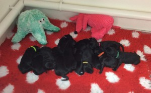 Maia's 13 puppies