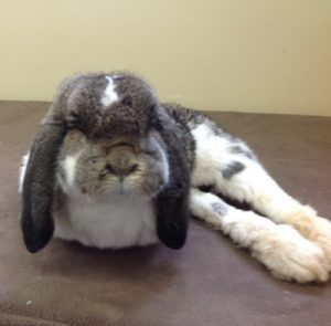 Milly the disabled rabbit enjoying her PosturePal